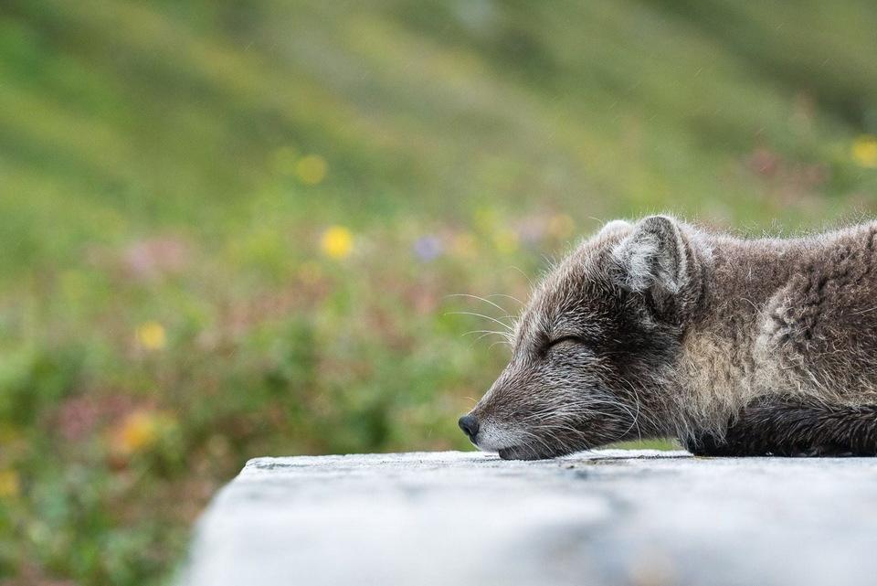 到营地里来串门的北极狐